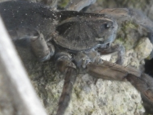 Huge spider at the entrance to a new Ontario cave - Wasteland Waterway